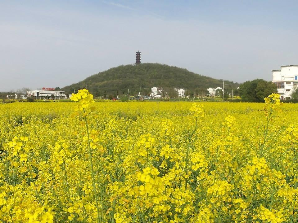 Rapeseed Flower Field -- pagoda background by Mitchell Blatt, China Travel Writer