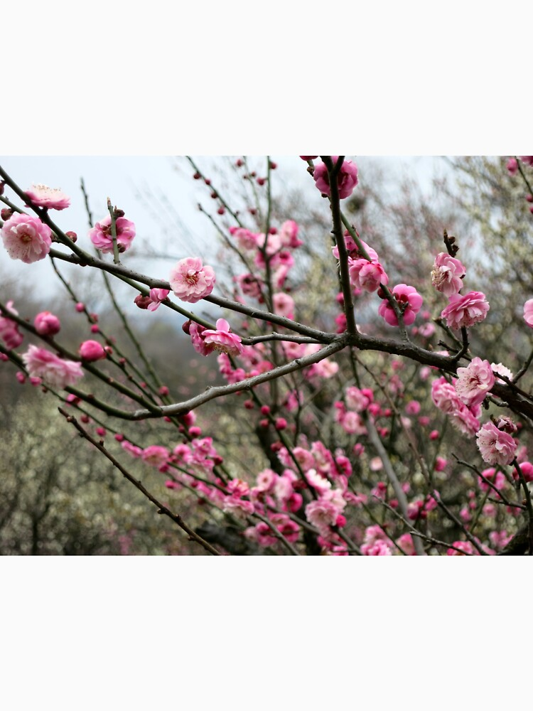 Pink Plum Blossoms on Tree by mblatt2
