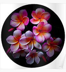 Plumeria Blossoms Poster
