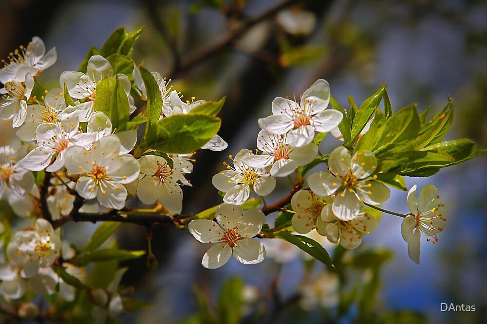 Smell of Spring by Danuta Antas