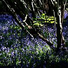 Bluebell Wood by SWEEPER
