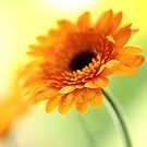 Orange Glow by Donna-R