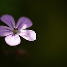 Forget-me-Not Flower by kernuak