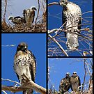 Red-tailed Hawks ~ Babies Collage by Kimberly Chadwick