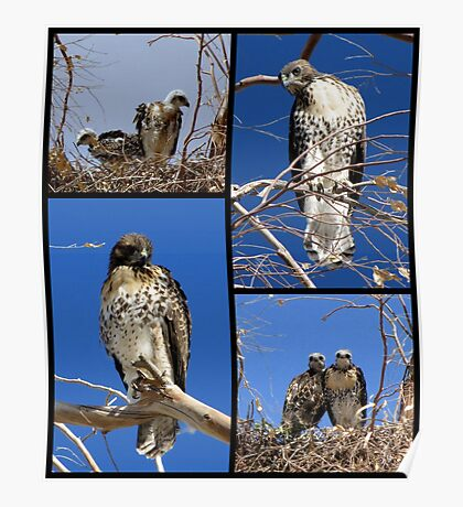 Red-tailed Hawks ~ Babies Collage Poster
