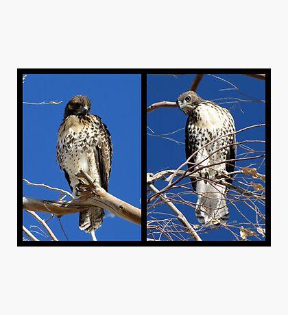 Redtailed Hawks ~ Final Goodbye Photographic Print