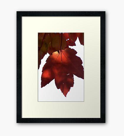 Scarlet Maple Framed Print