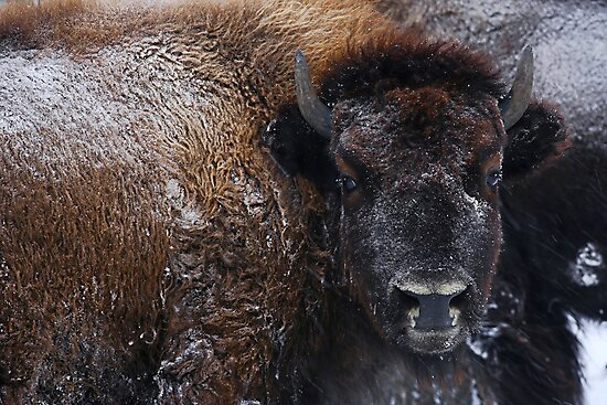 Bison IV by Wroth