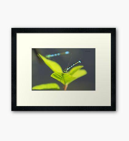 Damselfly Framed Print