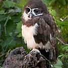 Spectacled Owl in the forest by Eivor Kuchta