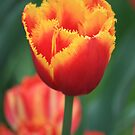 Tulip - Red and Yellow by Indrani Ghose