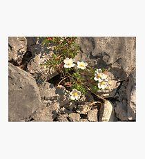 Burnet Roses Photographic Print
