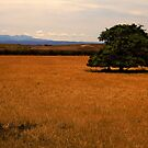 A single tree at Longford, Tasmania by Elana Bailey