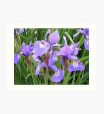 irises - garden view Art Print