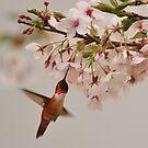 RUFOUS HUMMINGBIRD IN MEINEM KIRSCHBAUM von RoseMarie747