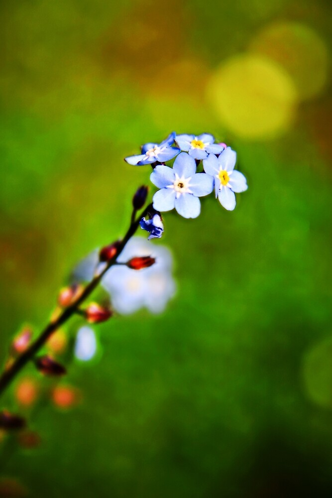 A Forget Me Not flower by Vicki Field
