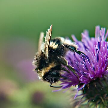 Scruffy Old Bumble Bee macro by InspiraImage