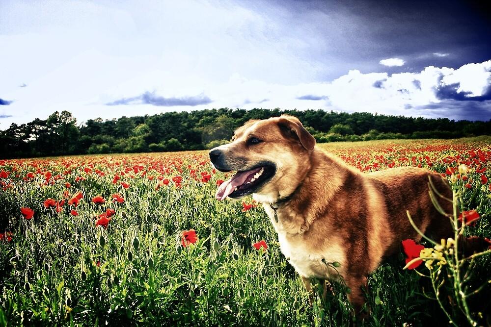 Dog in the Poppy Fields by Vicki Field