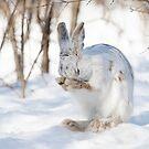 Snowshoe hare praying by Jim Cumming