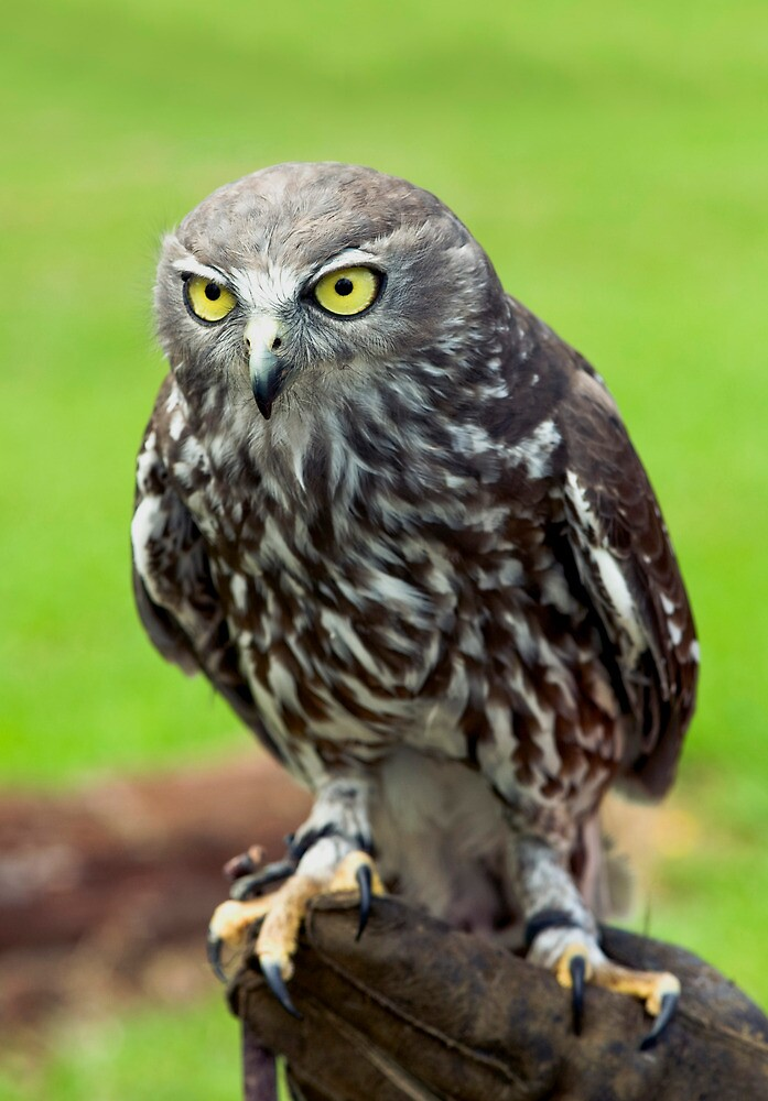 Green Eyes - barking owl by Jenny Dean