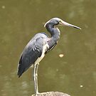 Tri-Colored Heron at Sawgrass by Jeff Ore