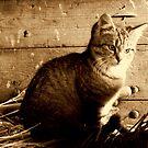 The farm kitten by Alan Mattison