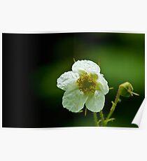 Thimbleberry Flower Poster