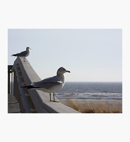 Ring-billed gulls relaxing. Photographic Print