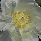 Softness In White by Deborah  Benoit
