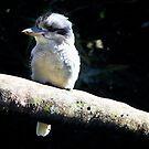 Kookaburra Bird by Vicki Field