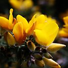"""Yellow"" Gorse by Merice  Ewart"