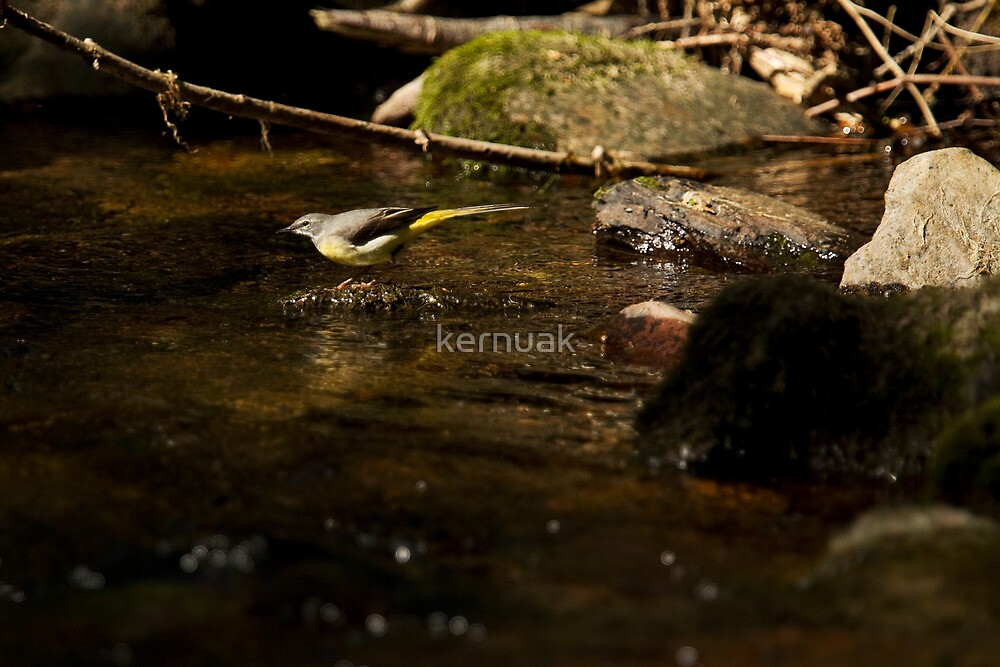 Grey Wagtail Highlight by kernuak