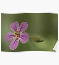Herb Robert, Wild Flower Poster