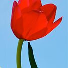 Tulipe Rouge by GraceNotes