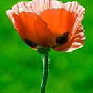 Red Poppy 01 by Bob  Perkoski