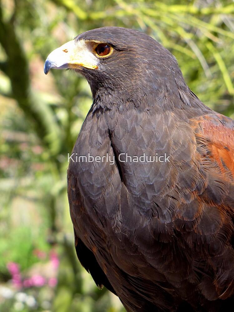 Harris's Hawk ~ Profile  by Kimberly Chadwick
