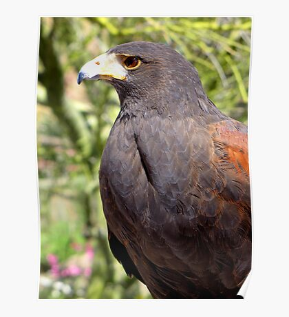 Harris's Hawk ~ Profile  Poster