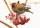 the waxwing and the berry part 4 the tongue test by Grandalf