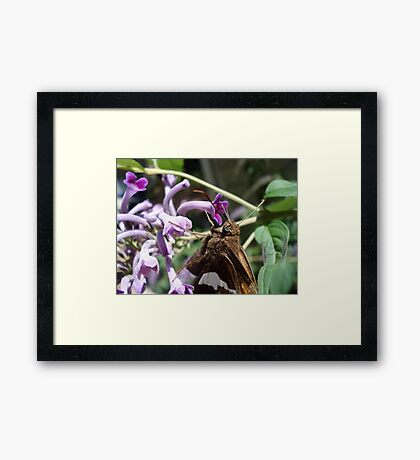 Silver Spangled Skipper in Buddleia Framed Print