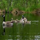 Canadian Geese and Gosling by ienemien