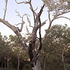 Dead Burnt Tree in the Bush land by TeAnne