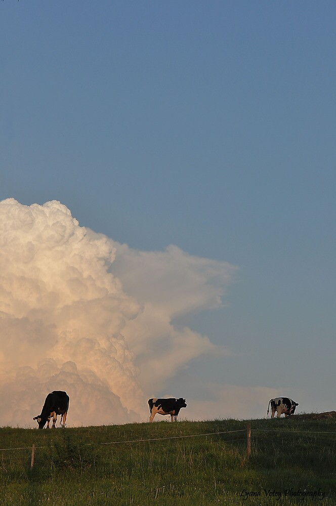 Hilltop Cows by Lyana Lynn