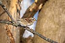 American Tree Sparrow by PhotosByHealy