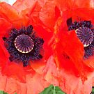 Poppies by cdcantrell