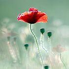 poppy by Anne Seltmann