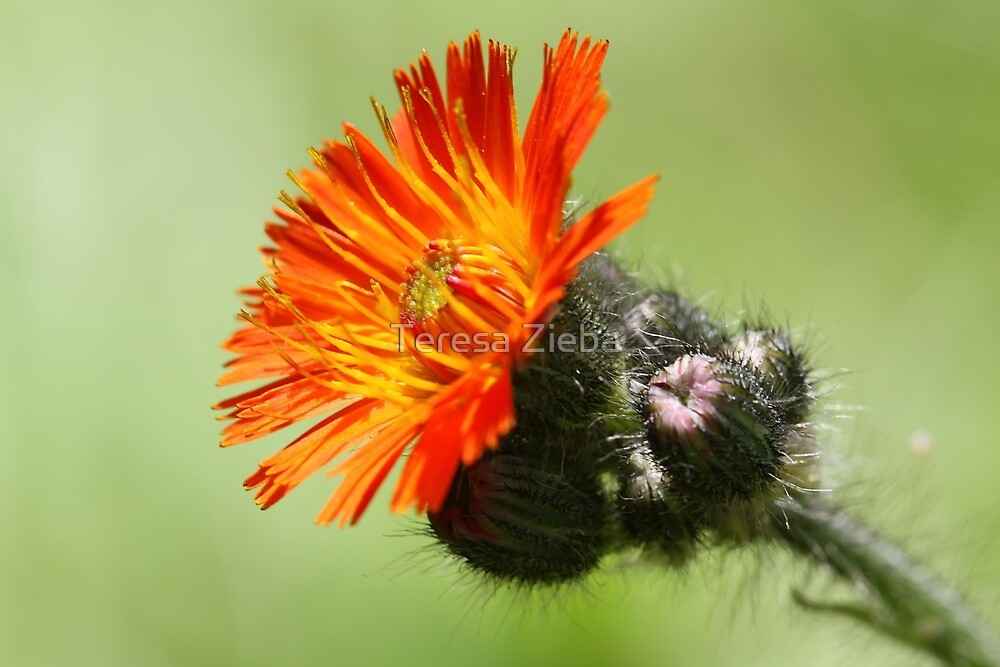 Orange Hawkweed by Teresa Zieba
