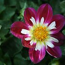 Delightful Dahlia! by Heather Friedman
