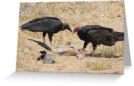 New World Vultures ~ Turkey & Black Vulture by Kimberly Chadwick