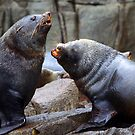 Australian Fur Seals by Martin Hampson