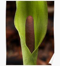 Arum maculatum Poster